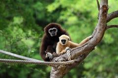 gibbonen räckte två white Royaltyfri Fotografi