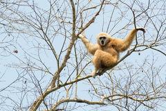 gibbonen räckte white Arkivbilder