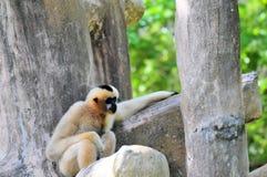 Gibbonfallhammer, der im Zoo sitzt Stockfotografie