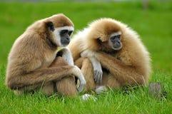 Gibboni in erba verde Fotografia Stock