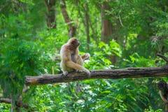 Gibboni seduti sul legname Fotografia Stock Libera da Diritti