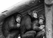 3 gibbonnen krijgen uit regen Royalty-vrije Stock Afbeeldingen