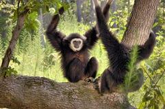 gibbons вручили белизну Стоковые Фотографии RF