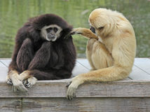 Gibbons. Dark And Light Gibbons Grooming Royalty Free Stock Photo
