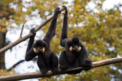 Gibbons Royalty Free Stock Images