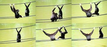 Gibbons Lizenzfreie Stockbilder