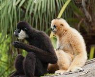 Gibbons Στοκ Φωτογραφίες