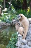 gibbons Fotografie Stock