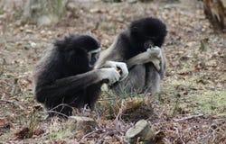 gibbons Royalty-vrije Stock Foto