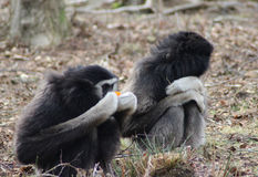gibbons Stock Afbeelding