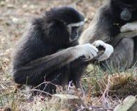 gibbons Royalty-vrije Stock Fotografie
