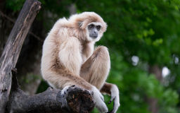 gibbons Royalty-vrije Stock Fotografie
