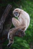 gibbons Royalty-vrije Stock Afbeeldingen