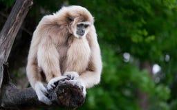 gibbons Fotografie Stock Libere da Diritti