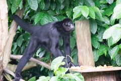 Black Gibbons while looking for food in a forest. Gibbons are apes in the family Hylobatidae. The family historically contained one genus, but now is split into Stock Image