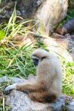 Gibbons auf Stein Lizenzfreie Stockbilder