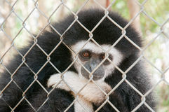 Gibbons in a cage Royalty Free Stock Images