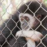 Gibbons in a cage Royalty Free Stock Image