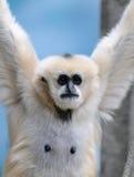Gibbons cheeked bianchi immagine stock libera da diritti