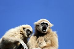 Gibbons. Close up view at gibbons Royalty Free Stock Images