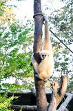 Gibbons crown Royalty Free Stock Images