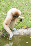 Gibbons drinking. Water in the pond Stock Photos
