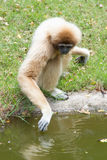 Gibbons drinking water. In the pond Royalty Free Stock Image