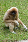Gibbons. On green the grass Stock Photos