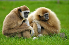 Gibbons in Green Grass Stock Photography