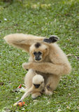 Gibbons and his mother Royalty Free Stock Photography