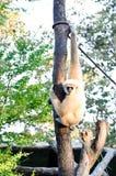 Gibbons-Krone lizenzfreie stockbilder