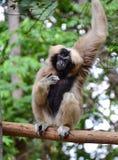 Gibbons. Looks something Stock Photo