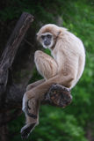 Gibbons. Are in need of something good for it Royalty Free Stock Images