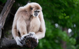 Gibbons. Are in need of something good for it Royalty Free Stock Photos