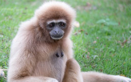 Gibbons. Are in need of something good for it Stock Photo