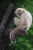 Gibbons. Are in need of something good for it Royalty Free Stock Photography