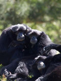 Gibbons relaxing. Three friendly  gibbons relaxing in the sun Royalty Free Stock Photography