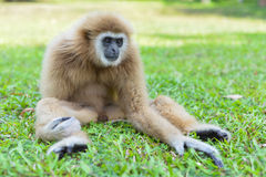 Gibbons sitting on the lawn. Gibbons tame seating on the lawn. In Thailand Stock Photography