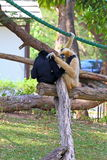 Gibbons. Two gibbons embrace on a tree trunk Stock Photos