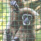 Gibbons is in the zoo Stock Images