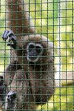 Gibbons is in the zoo Stock Photography