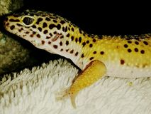 Gibbs the gecko. Meet gibbs the bright yellow and black spotted leopard gecko. Beautiful close-up picture royalty free stock image