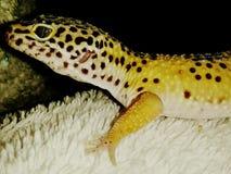 Gibbs le gecko image libre de droits