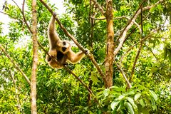 Gibon Hanging on the tree, Vinpearl Safari Phu Quoc park with exotic flora and fauna, Phu Quoc, Vietnam. Gibon Hanging on the tree, Largest zoological park in Royalty Free Stock Photo