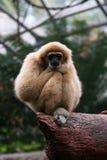 Gibon lar. (Hylobates lar), wildlife and zoo Stock Image