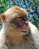 Gibraltan Ape. A wild Gibraltan Ape posing for a photo Stock Photos