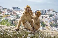 Gibraltar-Affen Stockfoto