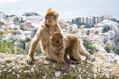Gibraltar-Affen Stockfotos