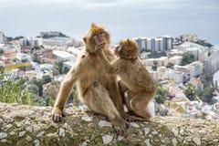 Gibraltar-Affen Lizenzfreie Stockbilder