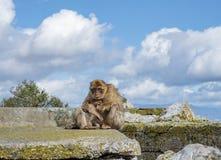 Gibraltar-Affen Stockbilder